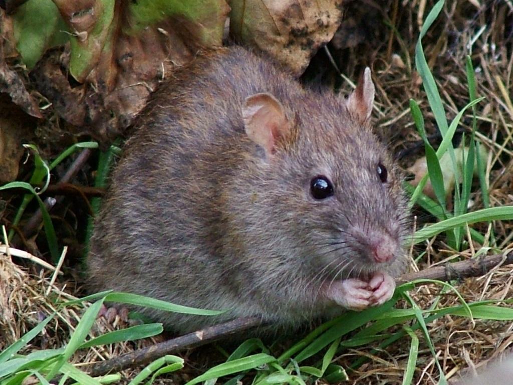La chasse aux rats